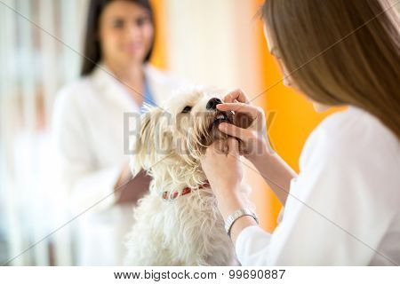 Checking teeth of cute Maltese dog by veterinarian in vet clinic