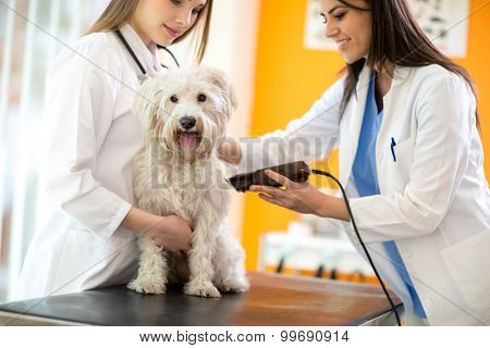 Veterinarians shaving sick Maltese dog and preparing for intervention