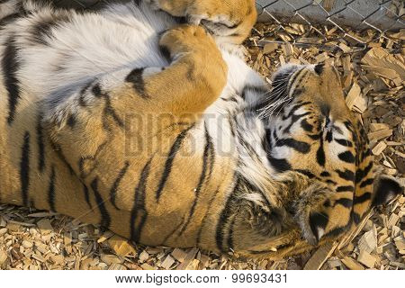 Cute Tiger Sleeping on his Back