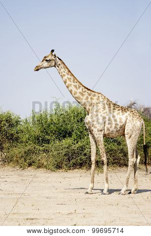 Lonely Giraffe on the Sand