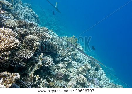 Coral Reef With  Cornetfish At The Bottom Of Tropical Sea, Underwater