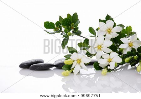 Branch gardenia with green plant on black pebbles