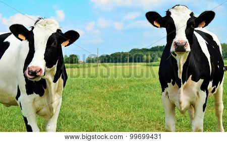 two cow sisters