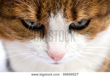 Portrait Of Angry Cat