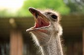 foto of hirsutes  - Big ostrich with mouth open - JPG