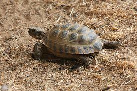 picture of russian tortoise  - Russian tortoise  - JPG
