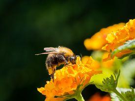 picture of lantana  - Large bumblebee on an orange lantana camara flower - JPG
