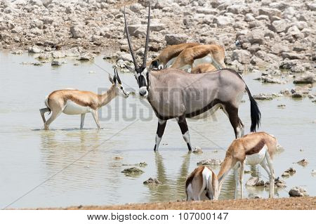 Gemsbok And Springbok At Waterhole.