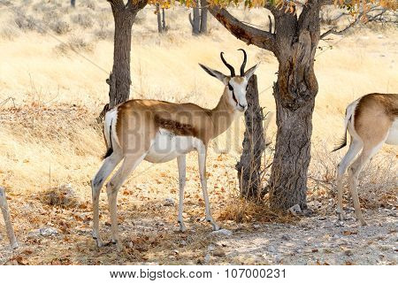 Pregnant Springbok.