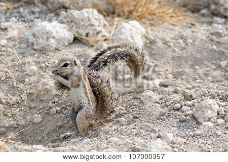 Ground Squirrel.