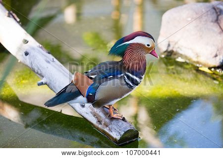 Mandarin Duck (Aix galericulata), Male