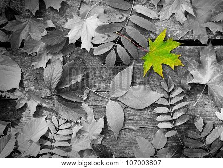 Green maple leaf amongst black and white autumn leaves