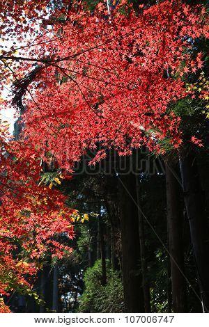 Autumn Leaves Of Jojakuko-ji Temple