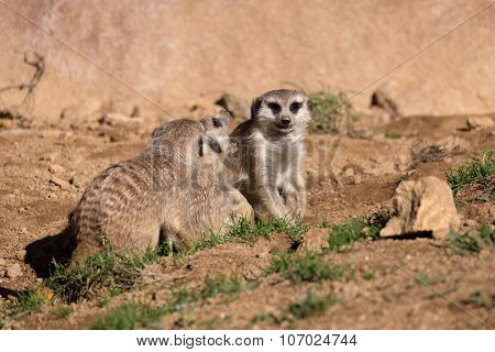 Meerkat Or Suricate Playing