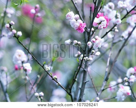 Plum (Prunus mume)?blossom. Plum tree with pink and white flowers.
