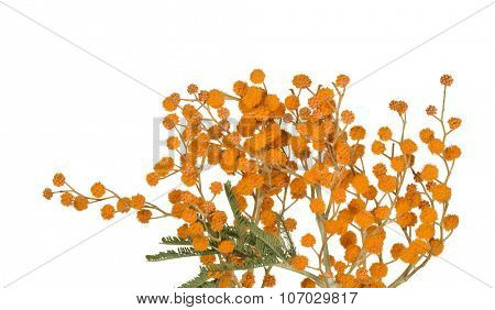 orange mimosa branch isolated on white background