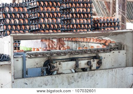 Eggs From Chicken Farm  And Selected Size Eggs Machine