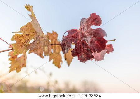 Vine leaves at dusk in autumn, shallow depth of field