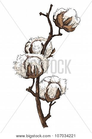 Hand made vector sketch of cotton plants.