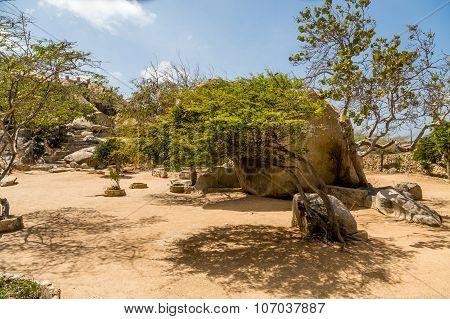 Divi Divi Tree In Desert