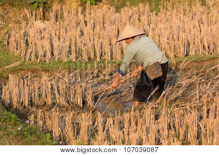 MAI CHAU, VIETNAM, DECEMBER 20, 2014 : A farmer is working in the mud of a harvested rice field near the village of Mai Chau, Vietnam.
