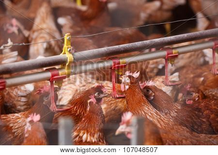 Farm Chicken In A Barn, Drinking From Waterer