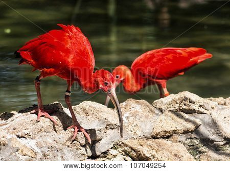Pair Of Scarlet Ibis (eudocimus Ruber), Birds Scene, Beauty In Nature
