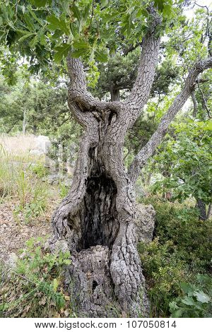 Oak Tree With Hollow On The Hillside In Crimea.