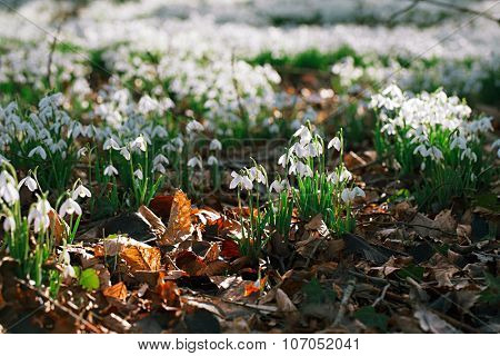 snowdrop flowers  in  winter  forest  perfect for postcard