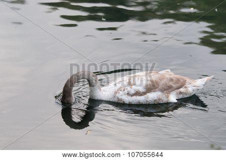 Swan Tucks Head Underwater
