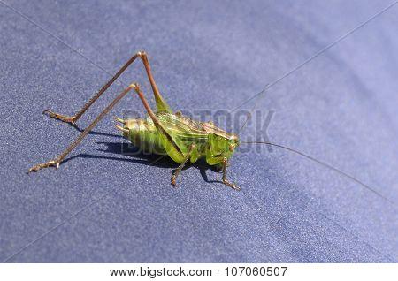 Green Grasshopper - Lat. Chorthippus, Closeup On A Blue Air Mattress On A Sunny Day