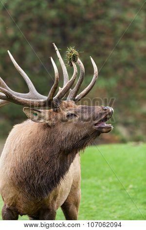 Bull Elk Bugling in the Rut
