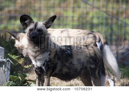 Painted Hunting Dogs