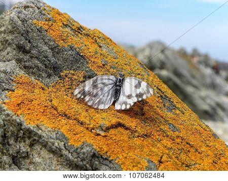 Butterfly on orange lichen