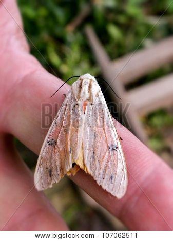 Female Tri Coloured Tiger Moth