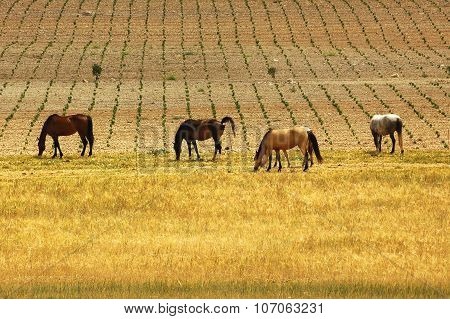 Horses At Pasture Near Montpellier