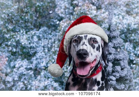 Dalmatian In Winter Hat