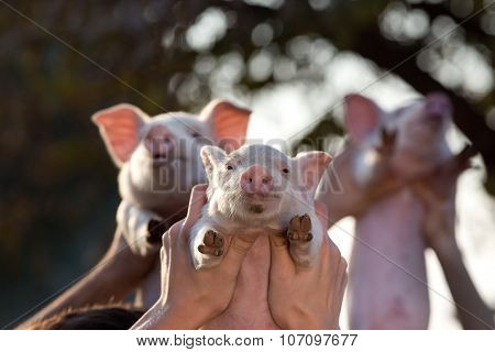 Piglets Lifted By Men's Hands
