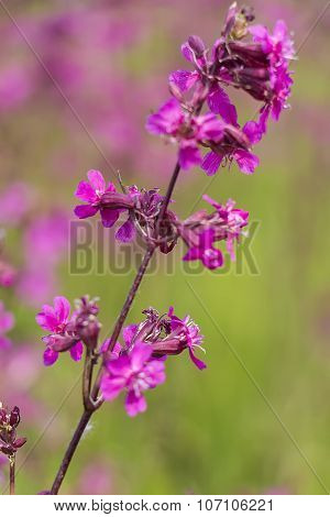 Red Meadow Flower Silene Large