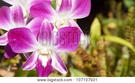 Dendrobium Bloom Under Sunlight