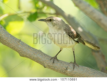 Northern Mockingbird sitting in the shade of a Persimmon tree in summer