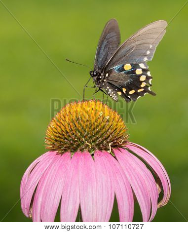 Pipevine Swallowtail butterfly feeding on Purple Coneflower