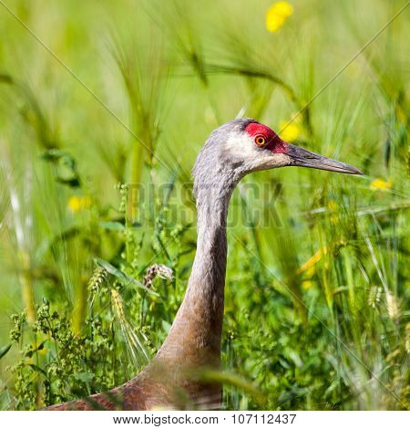 Side view of Sandhill Crane