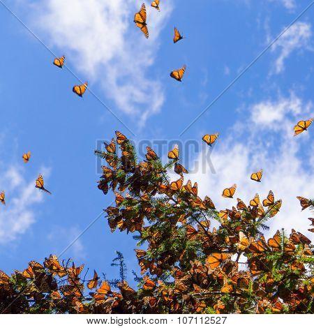 Monarch Butterflies on tree branch in blue sky background
