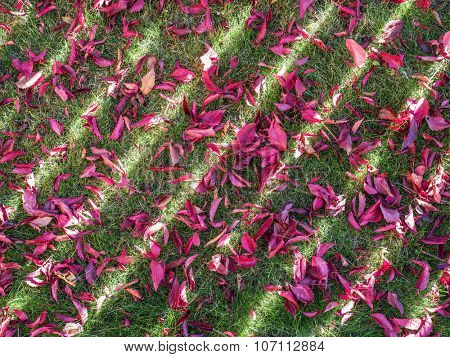Red leaves on the green grass. Nature background.