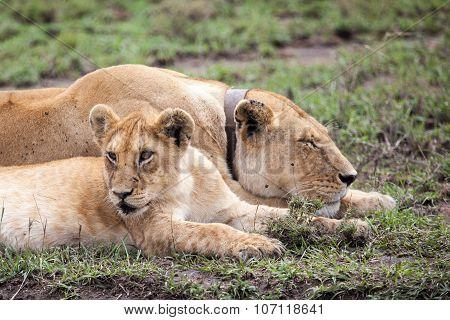 Radio Collared Female African Lioness