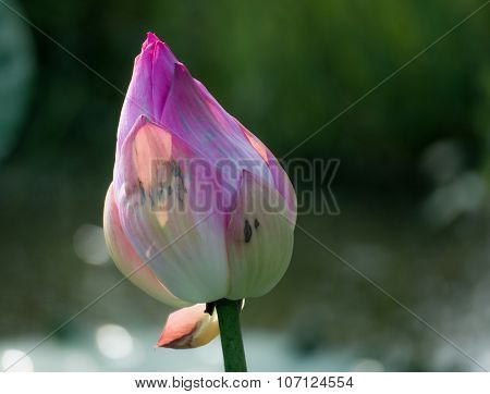 Wither Pink Lotus On Lake And Bokeh  Background
