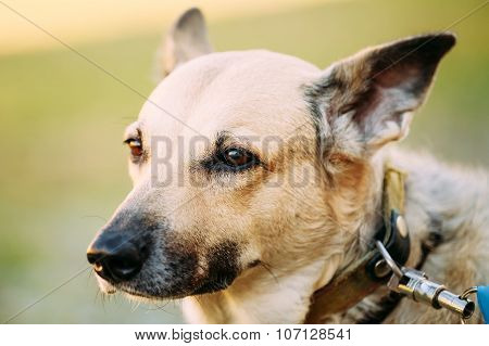 Mixed Breed Medium Size Brown Dog Close