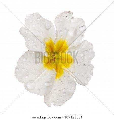 White  Primula with dew drops