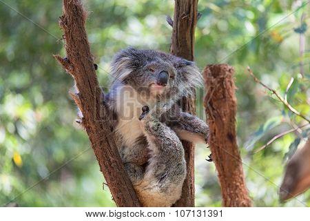 Koala looking into camera. A wild Koala climbing a tree.